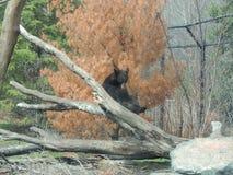 Sitta för svart björn Royaltyfri Bild