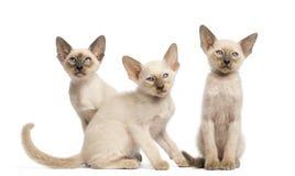 Sitta för tre orientaliskt Shorthair kattungar Arkivfoto