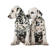 Sitta för två Dalmatian valpar Royaltyfri Foto