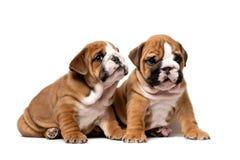Sitta för två gulligt engelskt bulldoggvalpar som är nästa och att lyssna försiktigt, isolerat på en vit bakgrund arkivfoton