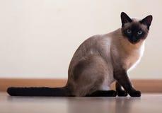 Sitta och se den Siamese katten Arkivfoto