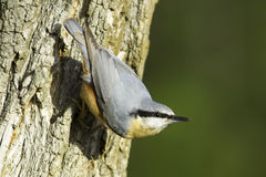 Sittaeuropaea/Europees-Aziatische Nuthatch - close-up Royalty-vrije Stock Foto's