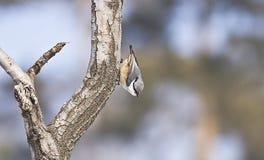 Sittaeuropaea i skog Fotografering för Bildbyråer