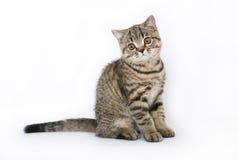 Sittande brittisk kattunge Arkivfoto