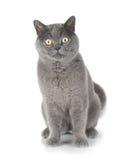 Sittande grå katt som ser dig Royaltyfri Bild