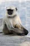 Sittande grå langur eller Hanuman langur, den mest utbredda monken Arkivfoton