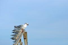 Sittande seagull Arkivfoton