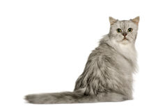 sittande sikt för tillbaka silver för katt gammal persisk Arkivfoton