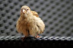 sittande sparrow för bänk fotografering för bildbyråer