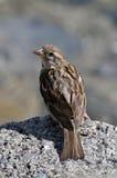 sittande sparrow för rock Royaltyfria Bilder