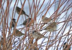 sittande sparrows för buskeflock Royaltyfri Bild