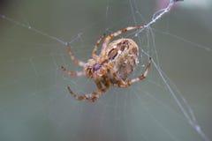 sittande spindel för cobweb Royaltyfri Bild