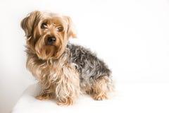 sittande terrier yorkshire Arkivbilder