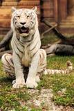 sittande tiger Fotografering för Bildbyråer