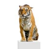 sittande tiger Royaltyfri Fotografi