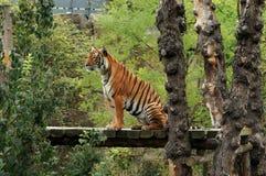 sittande tiger Royaltyfria Bilder