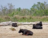 Sittande tjurar fotografering för bildbyråer