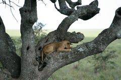 sittande tree för africa lionserengeti Royaltyfria Bilder