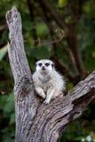 sittande tree för meerkat arkivbild