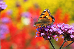 sittande urticaria för fjärilsblommaprofil royaltyfri fotografi