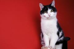 sittande white för svart katt Arkivfoton