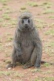 Sitted橄榄狒狒 免版税库存图片