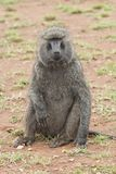 Sitted Olive Baboon. An olive baboon  in Masai Mara National Park of Kenya Royalty Free Stock Images