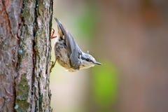 Sittelle blanche-breasted sur un tronc d'arbre Photo stock