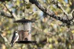 Sittelle dans le jardin mangeant des graines Photos stock