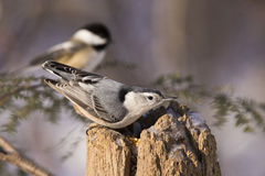 Sittelle et Chickadee Photos libres de droits