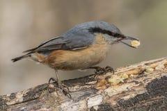 Sittelle, europaea de Sitta, oiseau sauvage dans l'habitat naturel Image libre de droits
