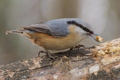 Sittelle, europaea de Sitta, oiseau sauvage dans l'habitat naturel Photo stock