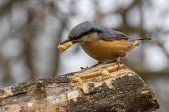Sittelle, europaea de Sitta, oiseau sauvage dans l'habitat naturel Image stock
