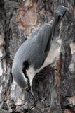 Sittelle sur l'arbre Photographie stock