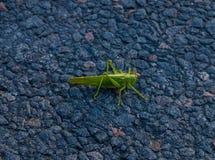 sitter den gröna gräshoppan för krypet vägen Royaltyfri Foto