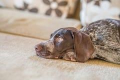 Sitter den tyska Shorthaired pekaren för ledsna ögon på soffan Royaltyfria Foton