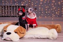 Sitter gullig amerikansk hårlös terrier två på en mjuk hund för leksak Älsklings- djur Royaltyfri Fotografi