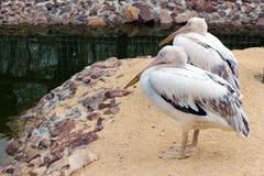 Sitter rosa pelikan två (vita fåglar) med långa näbb nära waten Royaltyfri Fotografi