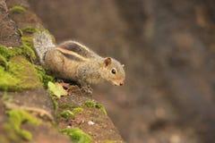 Sitti nordico dello scoiattolo della palma (pennantii di Funambulus) Immagini Stock Libere da Diritti