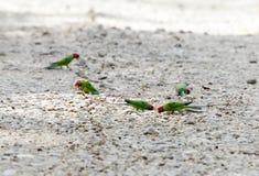 Sittich, der die Früchte liegen auf den Straßen von Jim Corbett isst Lizenzfreie Stockfotografie