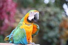Sittich sagen Guten Tag Blauer und gelber Macaw stockfotografie