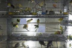Sittiche in den Käfigen für Verkauf Lizenzfreie Stockfotos