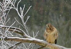 Sittin común del halcón en la sentada en el árbol derribado fotos de archivo