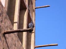 Sittin de la paloma en una torre del viento en Dubai viejo Imagenes de archivo