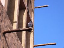 Sittin do pombo em uma torre do vento em Dubai velho Imagens de Stock