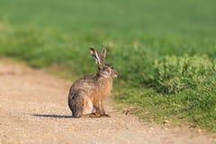 Sittin marrom europeu do europaeus do lepus do coelho americano da lebre do retrato Fotografia de Stock Royalty Free