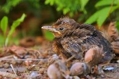 Sittin novo do pássaro de bebê na terra Fotos de Stock