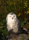 Sitting. A photo of a snow owl royalty free stock photos