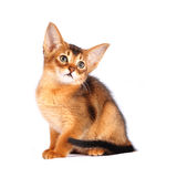 Sitting abyssinian kitten portrait. Isolated on white Stock Images