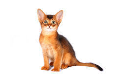 Sitting abyssinian kitten portrait Stock Photos
